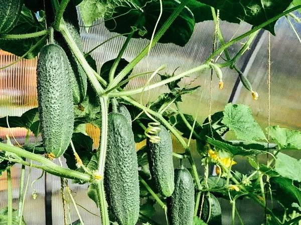 Идеи-выращивания-огурцов-при-минимальной-площади-7