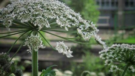 Борщевик ядовитое растение, чем опасен и как с ним бороться