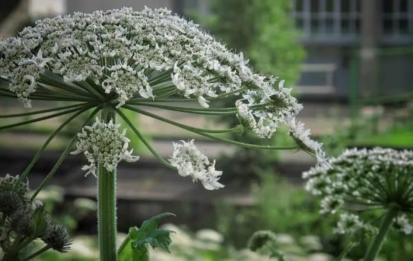 Борщевик-ядовитое-растение-чем-опасен-и-как-с-ним-бороться-1
