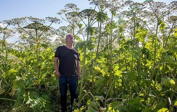 Борщевик-ядовитое-растение-чем-опасен-и-как-с-ним-бороться-4