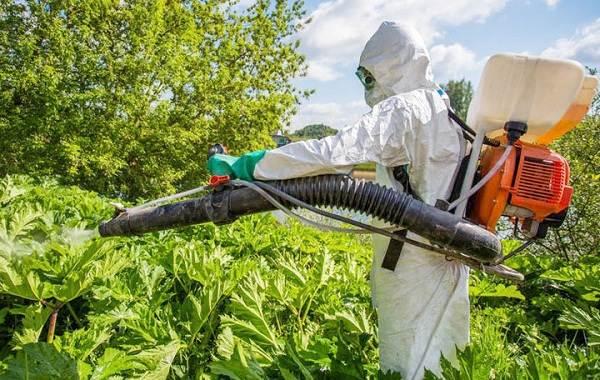Борщевик-ядовитое-растение-чем-опасен-и-как-с-ним-бороться-9