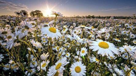 Ромашка цветок. История, происхождение, интересные факты и народные приметы