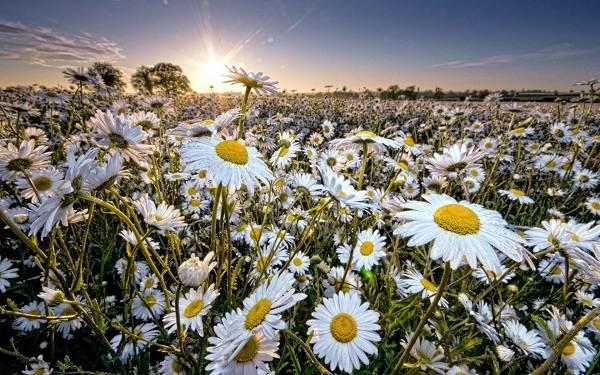 Ромашка-цветок-История-происхождение-интересные-факты-и-народные-приметы-1