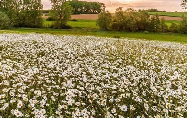 Ромашка-цветок-История-происхождение-интересные-факты-и-народные-приметы-4
