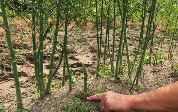 Спаржа-растение-Описание-особенности-виды-и-уход-2