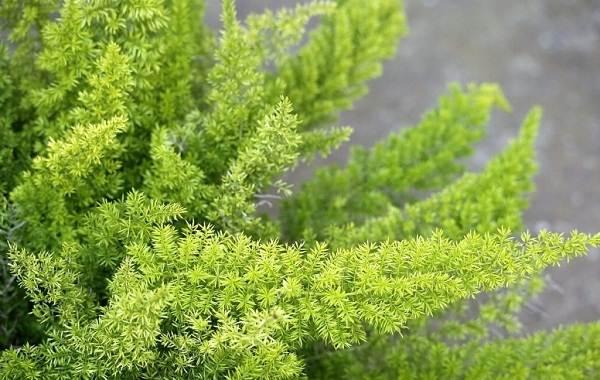 Спаржа-растение-Описание-особенности-виды-и-уход-6