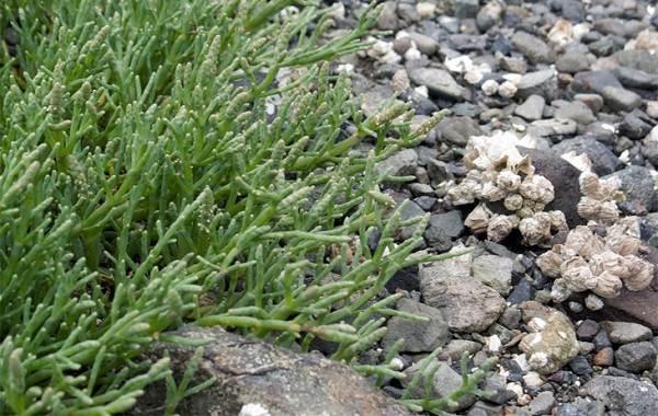 Спаржа-растение-Описание-особенности-виды-и-уход-7