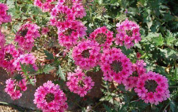 Вербена-растение-Описание-особенности-и-магические-свойства-1