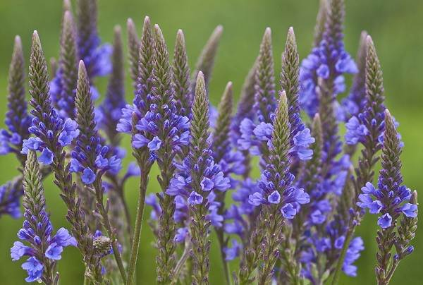 Вербена-растение-Описание-особенности-и-магические-свойства-12