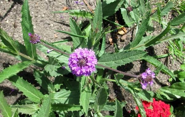Вербена-растение-Описание-особенности-и-магические-свойства-14
