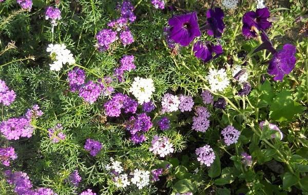 Вербена-растение-Описание-особенности-и-магические-свойства-15