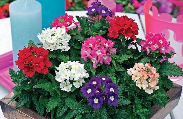 Вербена-растение-Описание-особенности-и-магические-свойства-16