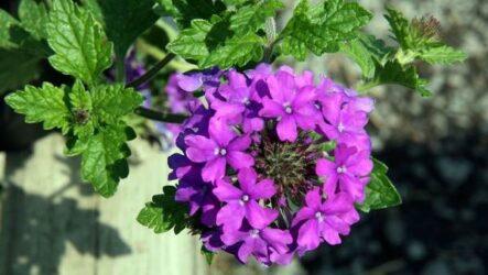 Вербена растение. Описание, особенности и магические свойства