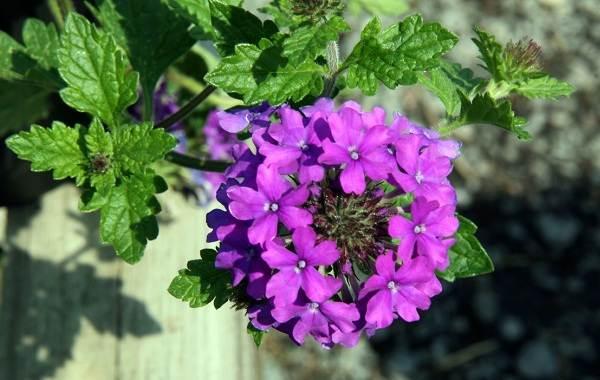 Вербена-растение-Описание-особенности-и-магические-свойства-17