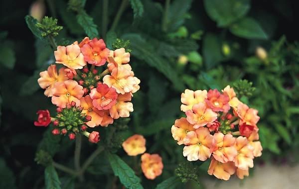 Вербена-растение-Описание-особенности-и-магические-свойства-18