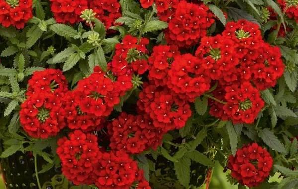 Вербена-растение-Описание-особенности-и-магические-свойства-19