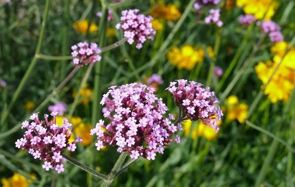 Вербена-растение-Описание-особенности-и-магические-свойства-2