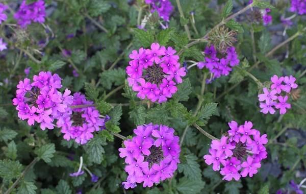 Вербена-растение-Описание-особенности-и-магические-свойства-20