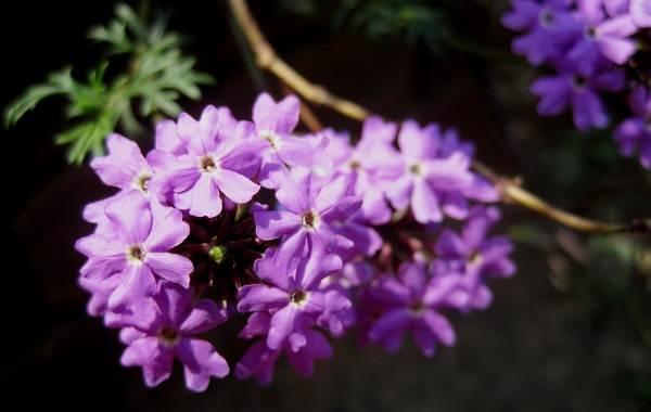 Вербена-растение-Описание-особенности-и-магические-свойства-3