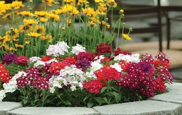 Вербена-растение-Описание-особенности-и-магические-свойства-4