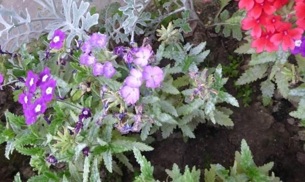 Вербена-растение-Описание-особенности-и-магические-свойства-8