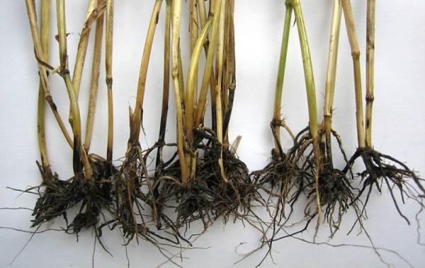 Вербена-растение-Описание-особенности-и-магические-свойства-9