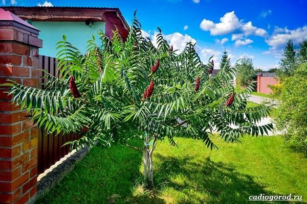 Сумах-дерево-его-особенности-виды-посадка-и-уход-1