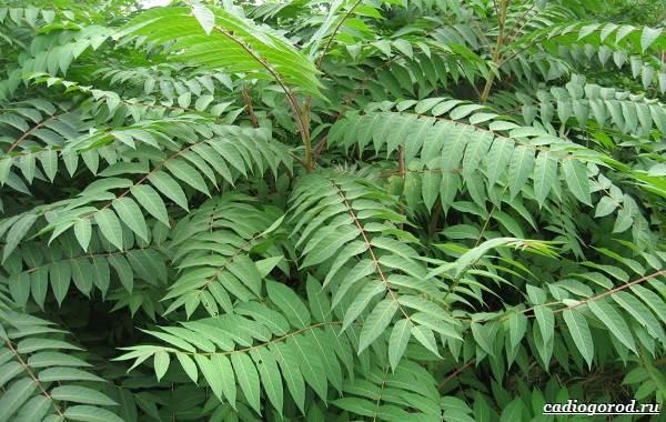 Сумах-дерево-его-особенности-виды-посадка-и-уход-10