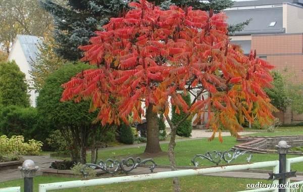 Сумах-дерево-его-особенности-виды-посадка-и-уход-13
