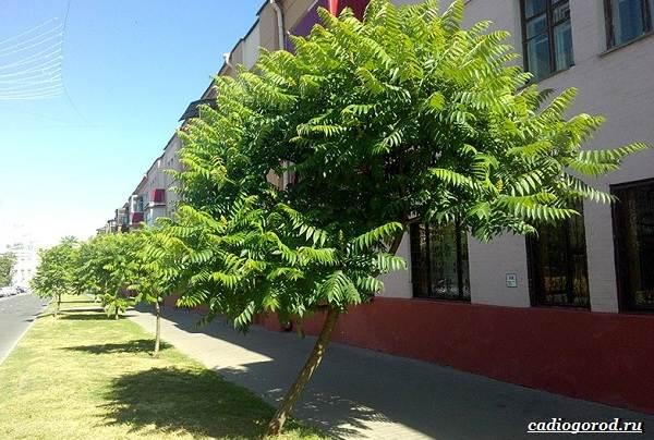 Сумах-дерево-его-особенности-виды-посадка-и-уход-16