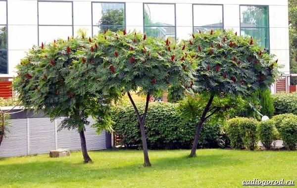 Сумах-дерево-его-особенности-виды-посадка-и-уход-17