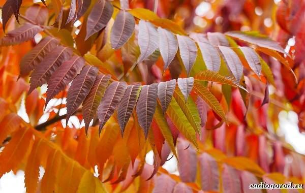Сумах-дерево-его-особенности-виды-посадка-и-уход-2