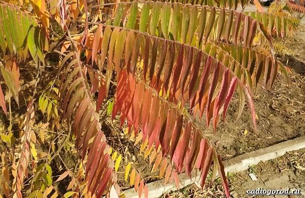 Сумах-дерево-его-особенности-виды-посадка-и-уход-25