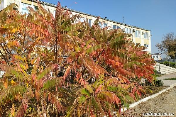 Сумах-дерево-его-особенности-виды-посадка-и-уход-26