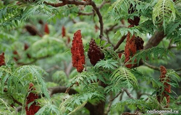 Сумах-дерево-его-особенности-виды-посадка-и-уход-4