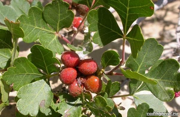 Сумах-дерево-его-особенности-виды-посадка-и-уход-6