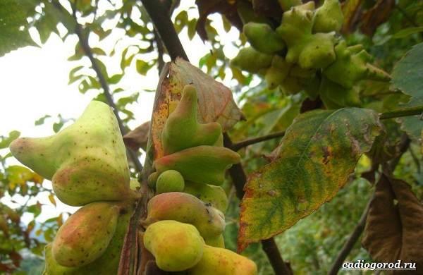 Сумах-дерево-его-особенности-виды-посадка-и-уход-7