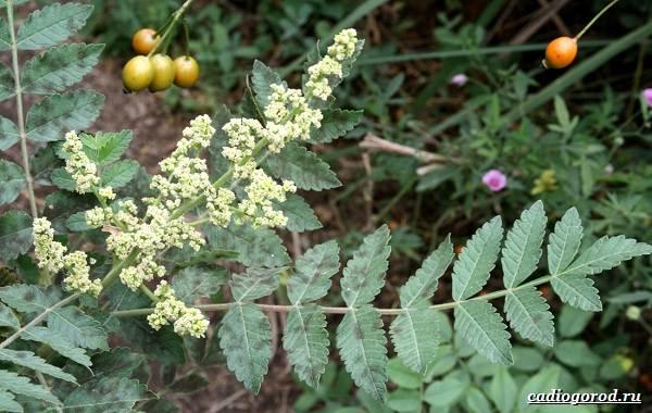 Сумах-дерево-его-особенности-виды-посадка-и-уход-9