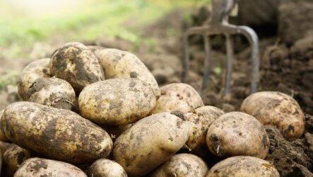 20 интересных фактов о картофеле