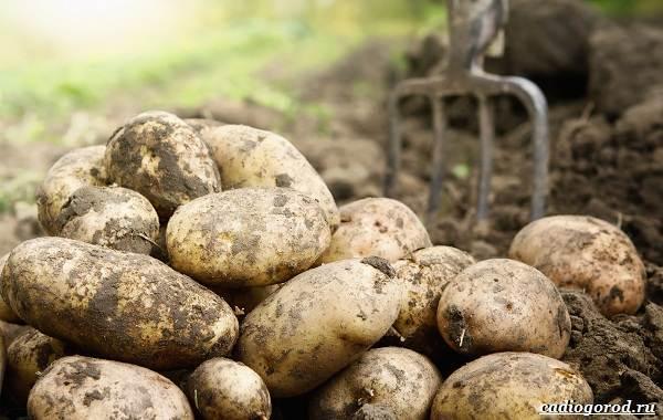 20-интересных-фактов-о-картофеле-3