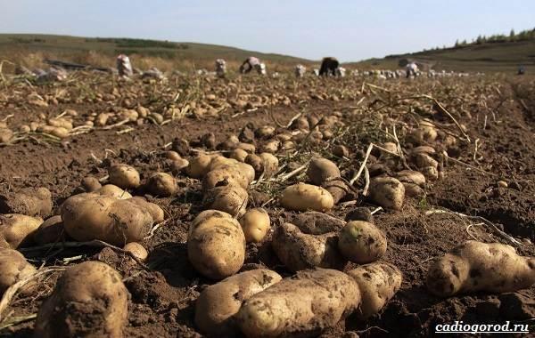 20-интересных-фактов-о-картофеле-6