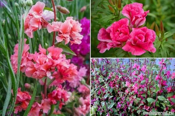Какие-цветы-посадить-на-даче-11