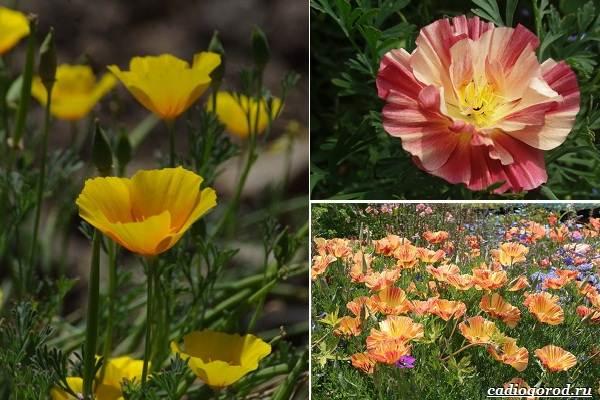 Какие-цветы-посадить-на-даче-12