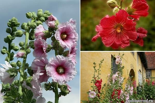Какие-цветы-посадить-на-даче-13