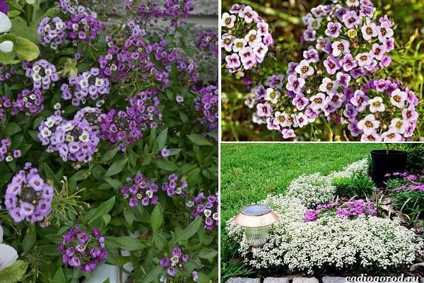 Какие-цветы-посадить-на-даче-19