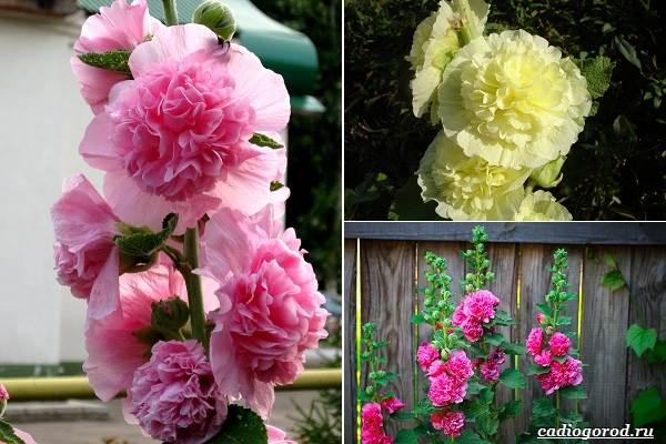 Какие-цветы-посадить-на-даче-3