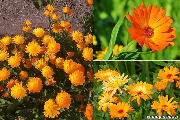 Какие-цветы-посадить-на-даче-46