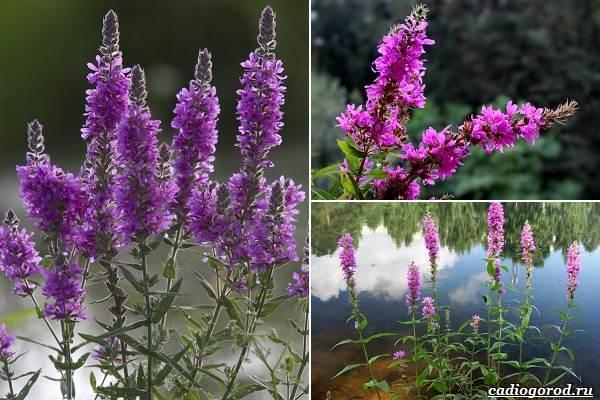 Какие-цветы-посадить-на-даче-51