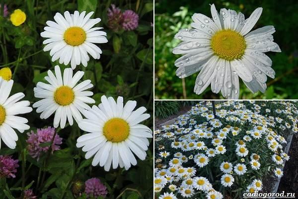 Какие-цветы-посадить-на-даче-9