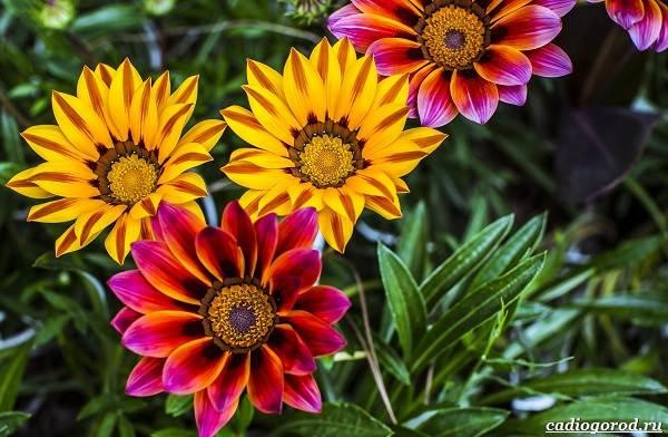 Какие-цветы-для-дачи-и-балкона-цветут-дольше-10
